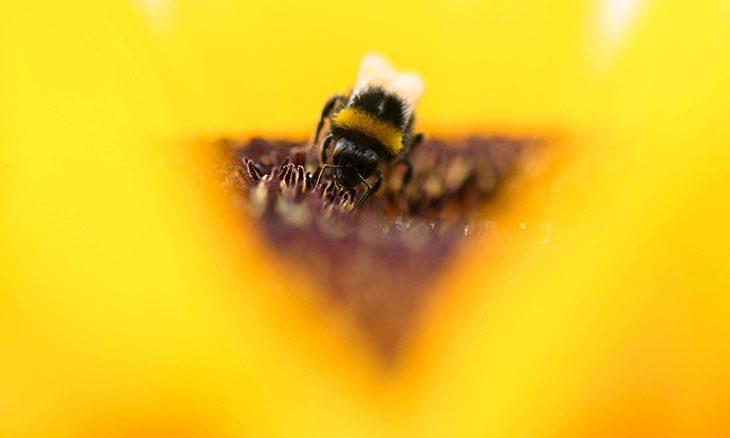 أعداد النحل الطنّان تتراجع بشدة نتيجة التغير المناخي