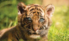 ولادة نمر سومطري نادر جدا في حديقة حيوانات بولندية