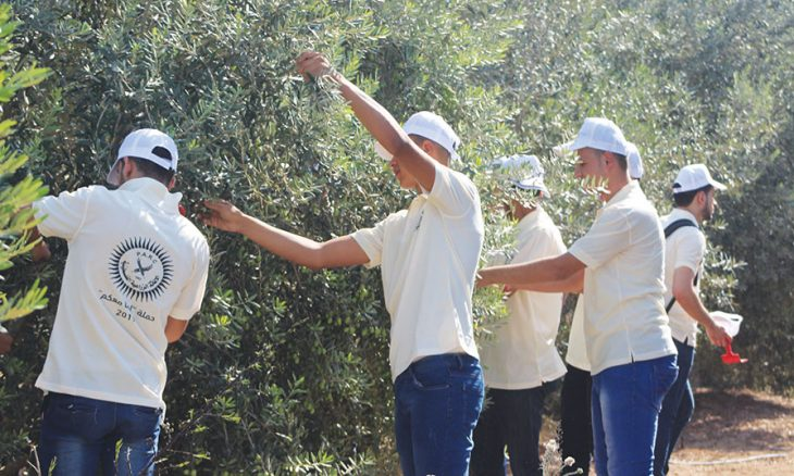 ما سرّ العداء المستحكم بين الصهاينة وشجرة الزيتون؟ زيتون الرامة يروي الحكاية