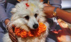 """نيبال تحتفل باليوم الثاني لمهرجان """"تيهار"""" السنوي بعبادة الكلاب"""
