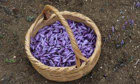 حقول الزعفران في تركيا.. موطن أغلى نبات في العالم