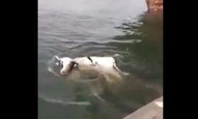 بقرة تسبح في البحر بعد سقوطها من باخرة في ميناء العاصمة الجزائرية