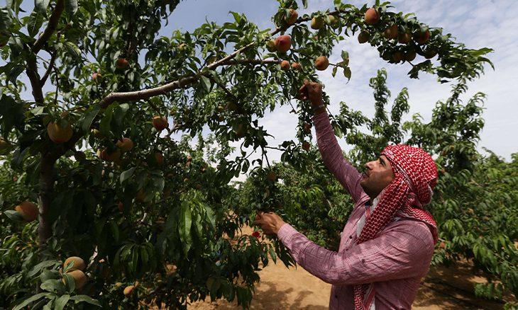 إسرائيل تضرب المنتج الزراعي الفلسطيني بسياسة استباق الموسم