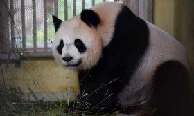 دبة الباندا في حديقة بوفال الفرنسية حامل بتوأمين- (صور)