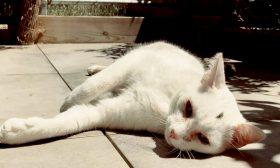 سبوم ملك جمال قطط رين الفرنسية