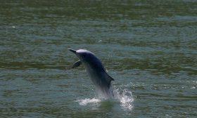 مشهد نادر لـ150 دولفينا تهرب من الحيتان القاتلة- (شاهد)