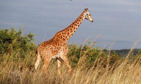 لحظات رعب بسبب زرافة طاردت سائحين في جنوب إفريقيا- (شاهد)