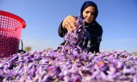 توظف مئات النساء بحقول الزعفران.. سيدة أعمال أفغانية تتعهد بالدفاع عن حقوق المرأة- (صور)
