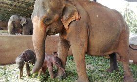 دفاعا عن طفلها.. أنثى فيل تسحق تمساحا حتى الموت- (فيديو)