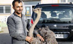بينها سكاكين.. استخراج 40 جسما غريبا من بطن نعامة في تركيا- (صور)